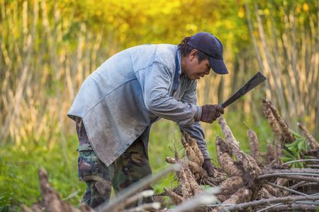 Agriculture is harvesting tapioca from cassava farms. Large cassava roots. Harvest or dig Root. Cassava planting area of ​​Thai farmers in rural areas.  Stock Photo