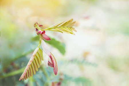 Fresh tamarind leaves on the nature background. Stockfoto