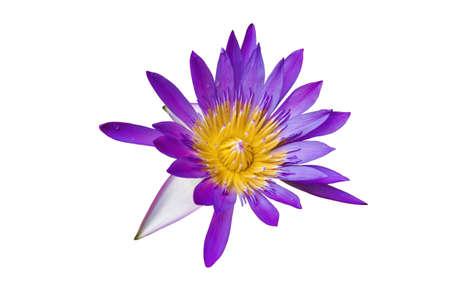Purple Lotus in full bloom