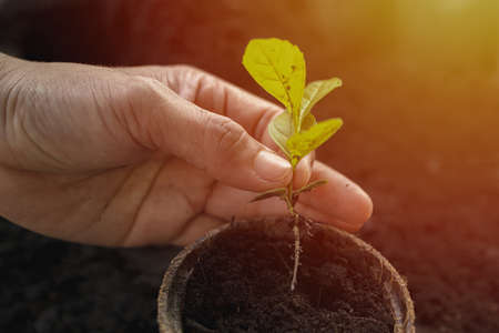 Sapling of tree, The seedling are growing from the rich soil with sunset that is shining, Small tree growing with sunlight. Ecology and green world concept. Seedlings in your hand.