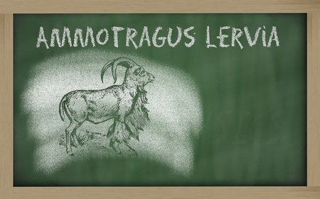 Ammotragus lervia sketched with chalk on blackboard