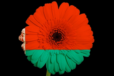 belorussian: gerbera daisy flower in colorsnational flag of belaruson black background as concept and symbol of love, beauty, innocence, and positive emotions Stock Photo