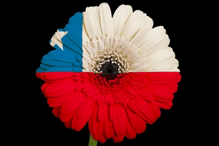 gerbera daisy flower in colorsnational flag of canadaon black background as concept and symbol of love, beauty, innocence, and positive emotions photo