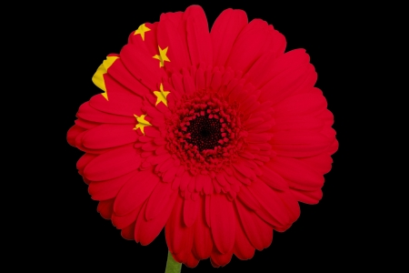 gerbera daisy flower in colorsnational flag of chinaon black background as concept and symbol of love, beauty, innocence, and positive emotions photo