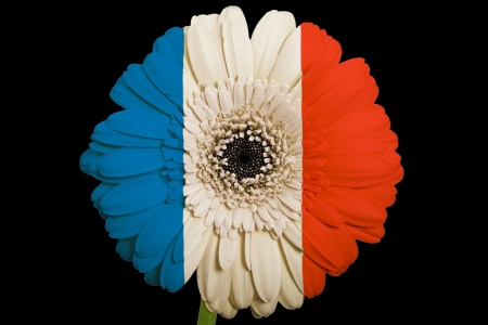 gerbera daisy flower in colorsnational flag of franceon black background as concept and symbol of love, beauty, innocence, and positive emotions photo
