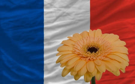 gerbera daisy flower and national flag of france as concept and symbol of love, beauty, innocence, and positive emotions photo