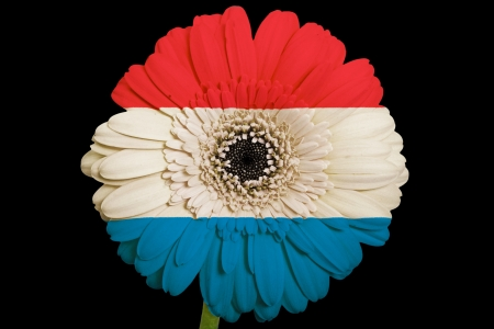 gerbera daisy flower in colorsnational flag of netherlandson black background as concept and symbol of love, beauty, innocence, and positive emotions Stock Photo - 18102754