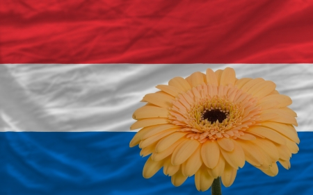 gerbera daisy flower and national flag of netherlands as concept and symbol of love, beauty, innocence, and positive emotions photo