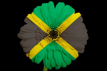 gerbera daisy flower in colorsnational flag of jamaicaon black background as concept and symbol of love, beauty, innocence, and positive emotions photo