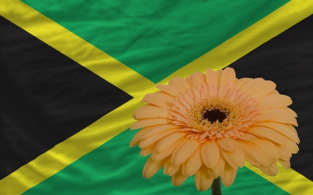 gerbera daisy flower and national flag of jamaica as concept and symbol of love, beauty, innocence, and positive emotions photo