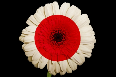 gerbera daisy flower in colorsnational flag of japanon black background as concept and symbol of love, beauty, innocence, and positive emotions photo