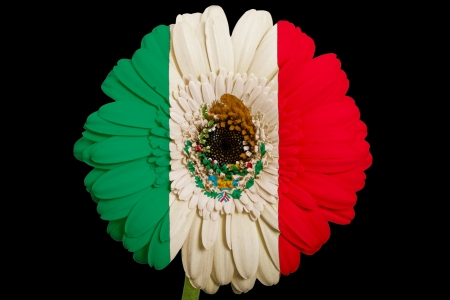 gerbera daisy flower in colorsnational flag of mexicoon black background as concept and symbol of love, beauty, innocence, and positive emotions photo