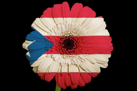 puerto rican flag: gerbera daisy flower in colorsnational flag of puertoricoon black background as concept and symbol of love, beauty, innocence, and positive emotions