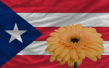 puertorico: gerbera daisy flower and national flag of puertorico as concept and symbol of love, beauty, innocence, and positive emotions