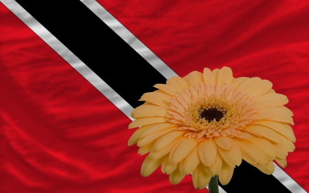 national flag trinidad and tobago: gerbera daisy flower and national flag of trinidad tobago as concept and symbol of love, beauty, innocence, and positive emotions Stock Photo