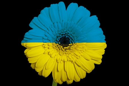 gerbera daisy flower in colorsnational flag of ukraineon black background as concept and symbol of love, beauty, innocence, and positive emotions photo