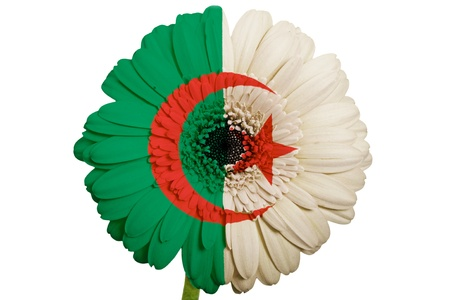 algerian flag: gerbera daisy flower in colors national flag of algeria on white background as concept and symbol of love, beauty, innocence, and positive emotions