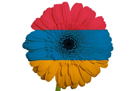 piktogramm: gerbera daisy flower in colors national flag of armenia on white background as concept and symbol of love, beauty, innocence, and positive emotions Stock Photo