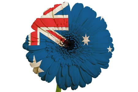 piktogramm: gerbera daisy flower in colors national flag of australia on white background as concept and symbol of love, beauty, innocence, and positive emotions
