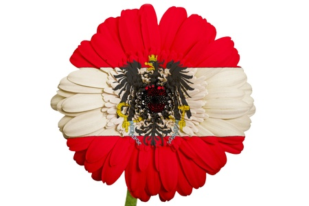 gerbera daisy flower in colors national flag of austria on white background as concept and symbol of love, beauty, innocence, and positive emotions photo
