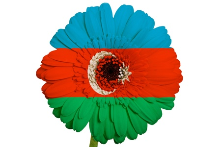 piktogramm: gerbera daisy flower in colors national flag of azerbaijan on white background as concept and symbol of love, beauty, innocence, and positive emotions