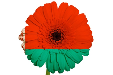 Gerbera daisy flower in colors national flag of belarus on white gerbera daisy flower in colors national flag of belarus on white background as concept and symbol mightylinksfo