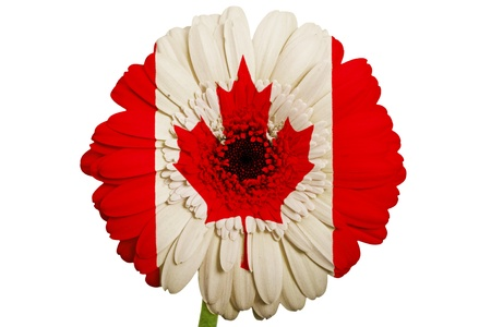 innocence: gerbera daisy flower in colors national flag of canada on white background as concept and symbol of love, beauty, innocence, and positive emotions