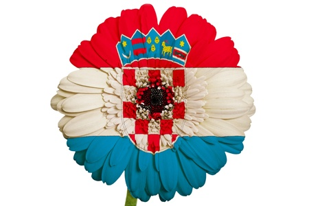 gerbera daisy flower in colors national flag of croatia on white background as concept and symbol of love, beauty, innocence, and positive emotions photo