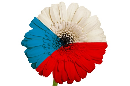 piktogramm: gerbera daisy flower in colors national flag of czech on white background as concept and symbol of love, beauty, innocence, and positive emotions