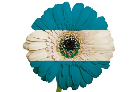piktogramm: gerbera daisy flower in colors national flag of el salvador on white background as concept and symbol of love, beauty, innocence, and positive emotions