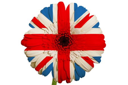 gerbera daisy flower in colors national flag of uk on white background as concept and symbol of love, beauty, innocence, and positive emotions photo