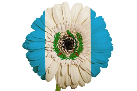 piktogramm: gerbera daisy flower in colors national flag of guatemala on white background as concept and symbol of love, beauty, innocence, and positive emotions Stock Photo