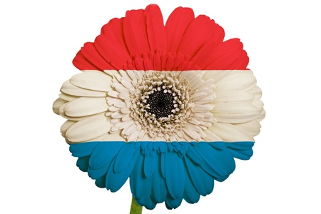 gerbera daisy flower in colors national flag of netherlands on white background as concept and symbol of love, beauty, innocence, and positive emotions photo