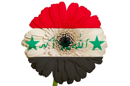 piktogramm: gerbera daisy flower in colors national flag of iraq on white background as concept and symbol of love, beauty, innocence, and positive emotions