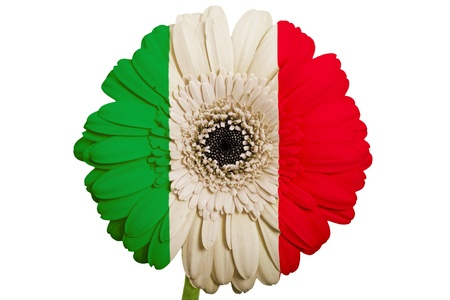 gerbera daisy flower in colors national flag of italy on white background as concept and symbol of love, beauty, innocence, and positive emotions photo