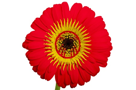 piktogramm: gerbera daisy flower in colors national flag of kirghizstan on white background as concept and symbol of love, beauty, innocence, and positive emotions