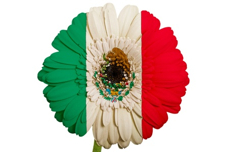 gerbera daisy flower in colors national flag of mexico on white background as concept and symbol of love, beauty, innocence, and positive emotions photo