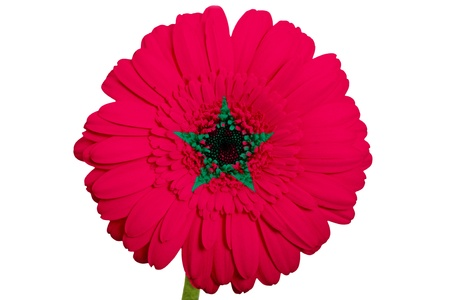 piktogramm: gerbera daisy flower in colors national flag of morocco on white background as concept and symbol of love, beauty, innocence, and positive emotions