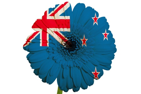 gerbera daisy flower in colors national flag of new zealand on white background as concept and symbol of love, beauty, innocence, and positive emotions photo