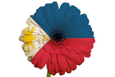 piktogramm: gerbera daisy flower in colors national flag of philippines on white background as concept and symbol of love, beauty, innocence, and positive emotions
