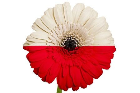 piktogramm: gerbera daisy flower in colors national flag of poland on white background as concept and symbol of love, beauty, innocence, and positive emotions