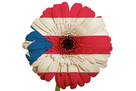 puerto rican flag: gerbera daisy flower in colors national flag of puertorico on white background as concept and symbol of love, beauty, innocence, and positive emotions