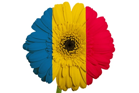 gerbera daisy flower in colors national flag of romania on white background as concept and symbol of love, beauty, innocence, and positive emotions photo
