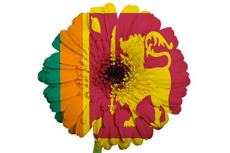 Gerbera daisy flower in colors national flag of srilanka on white gerbera daisy flower in colors national flag of srilanka on white background as concept and symbol mightylinksfo