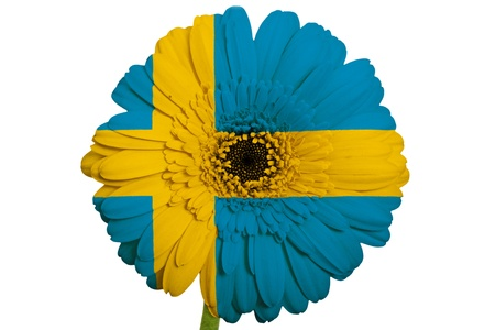 gerbera daisy flower in colors national flag of sweden on white background as concept and symbol of love, beauty, innocence, and positive emotions Stock Photo - 18102633