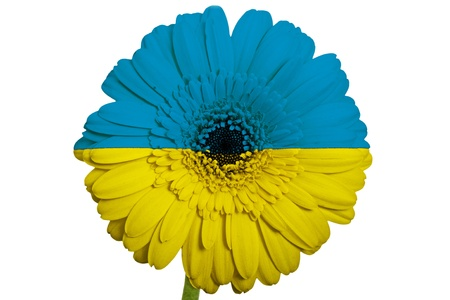 gerbera daisy flower in colors national flag of ukraine on white background as concept and symbol of love, beauty, innocence, and positive emotions photo