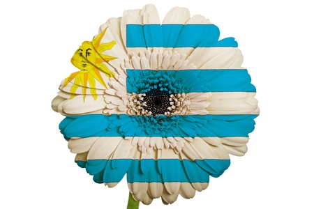 gerbera daisy flower in colors national flag of uruguay on white background as concept and symbol of love, beauty, innocence, and positive emotions photo