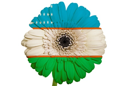 piktogramm: gerbera daisy flower in colors national flag of uzbekistan on white background as concept and symbol of love, beauty, innocence, and positive emotions