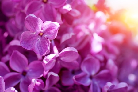 lillac: spring lillac flowers Stock Photo