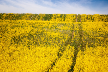 spring background. field of yellow flowers